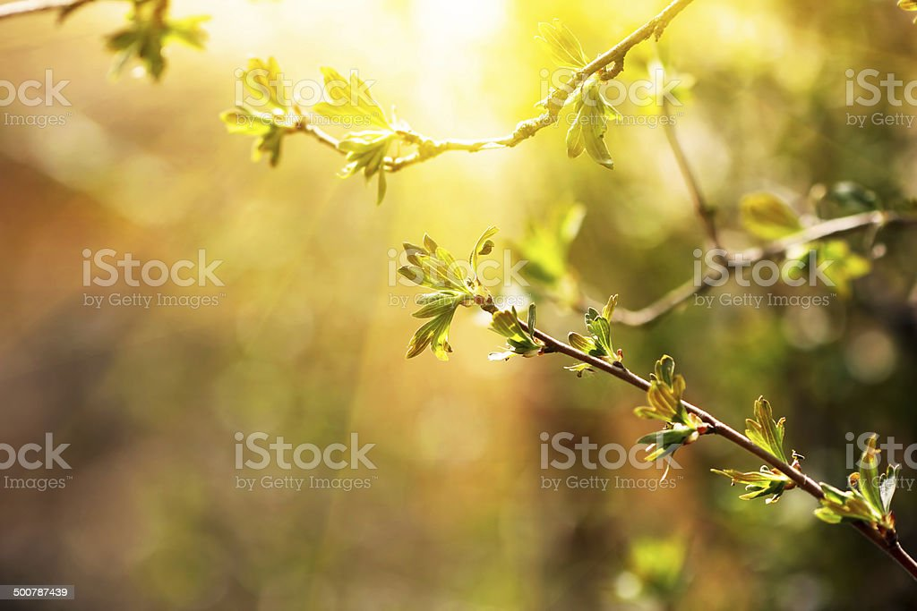 branch with young leaves. spring time stock photo