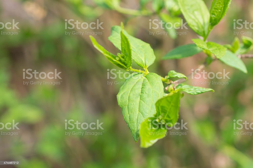 Branch with young small leaves in the spring stock photo