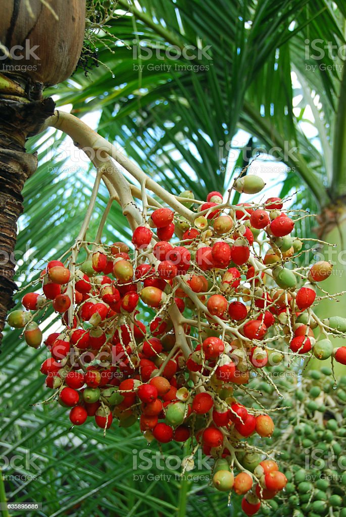 Branche of red Palm fruit right after a rain shower. stock photo