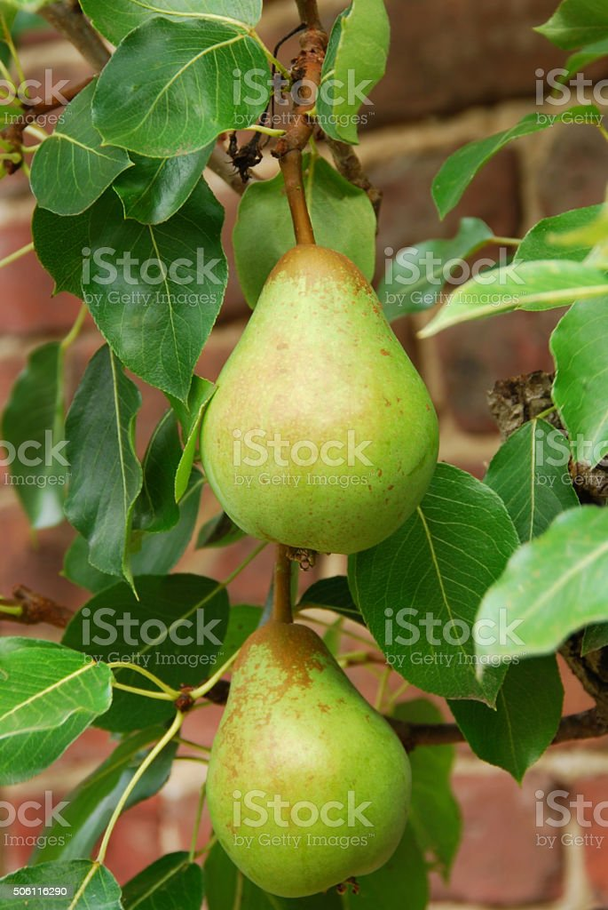 Branche with two European Pears. stock photo