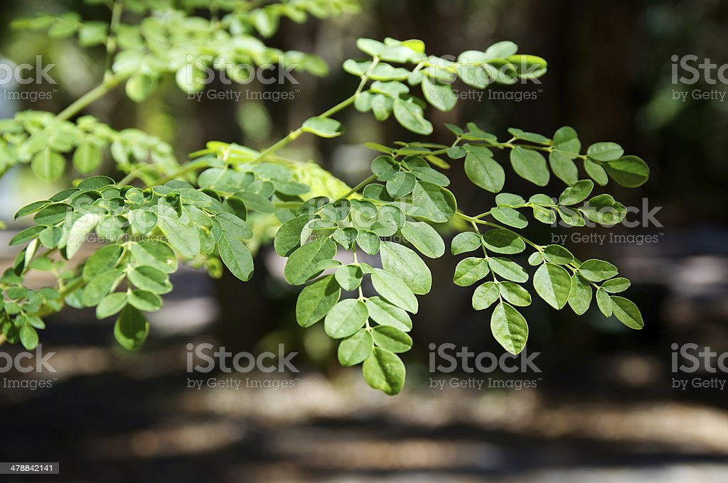 branches and leaves of moringa tree stock photo