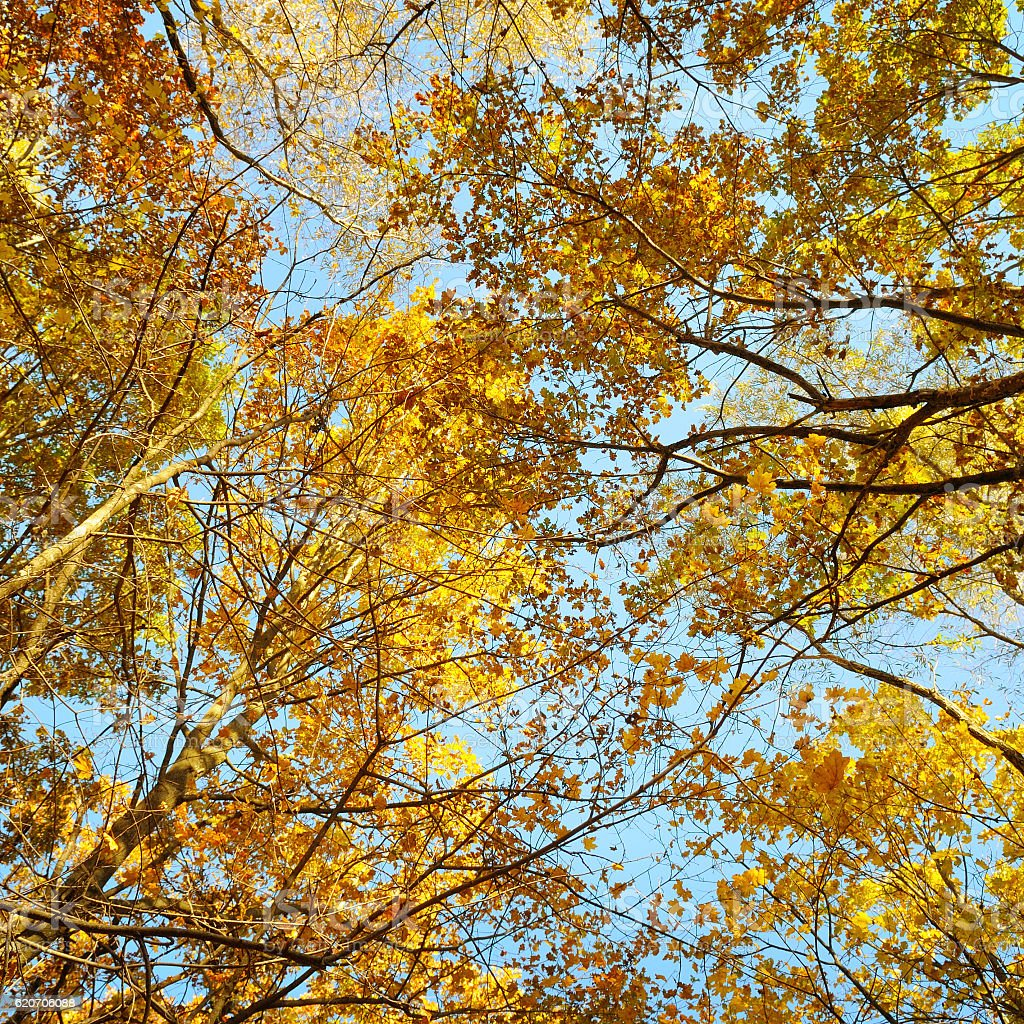 branches and yellow autumn leaves against the blue sky stock photo
