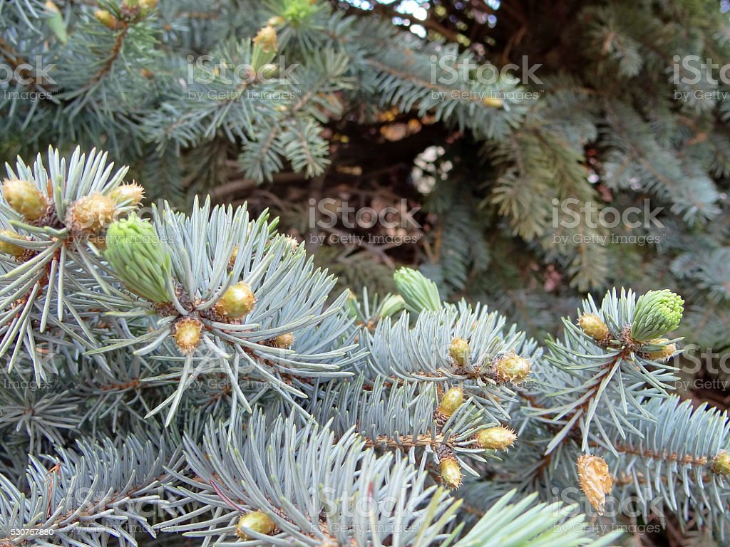 branches blue spruce stock photo