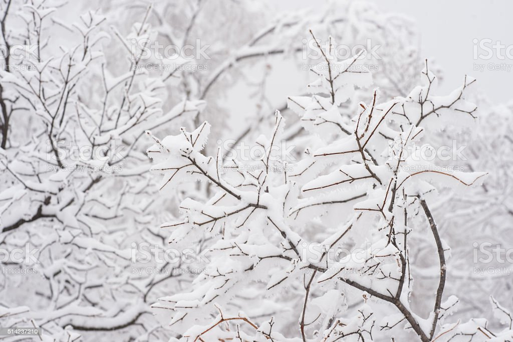 branches Covered by Snow in Winter stock photo