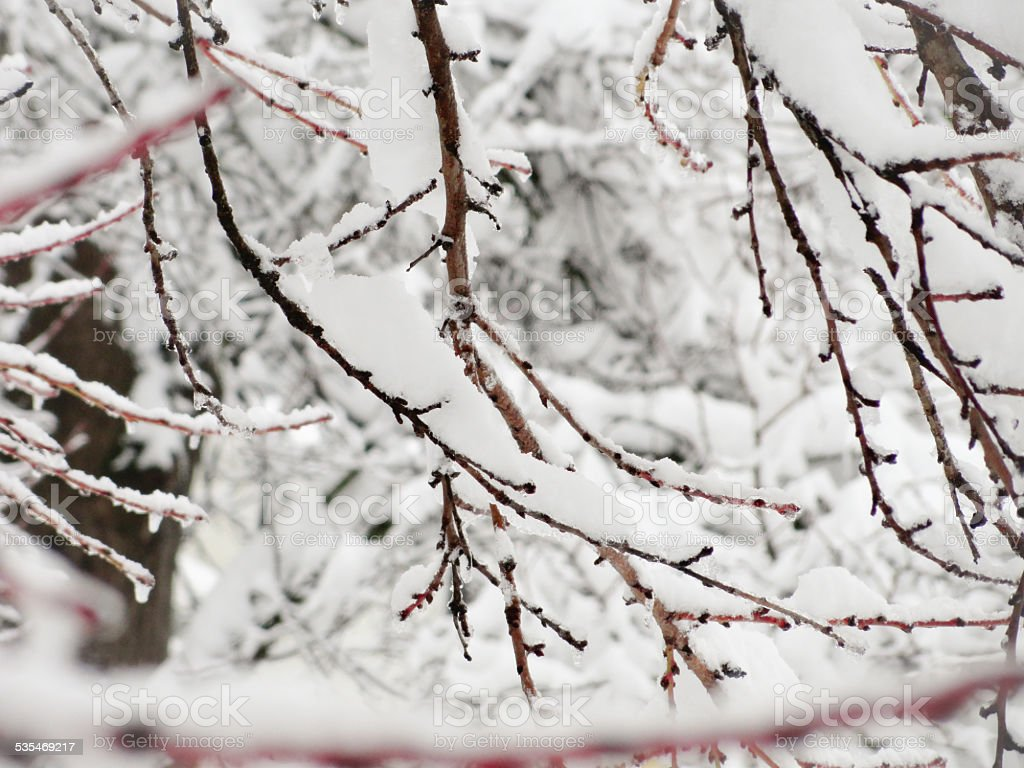 Branches covered with snow stock photo