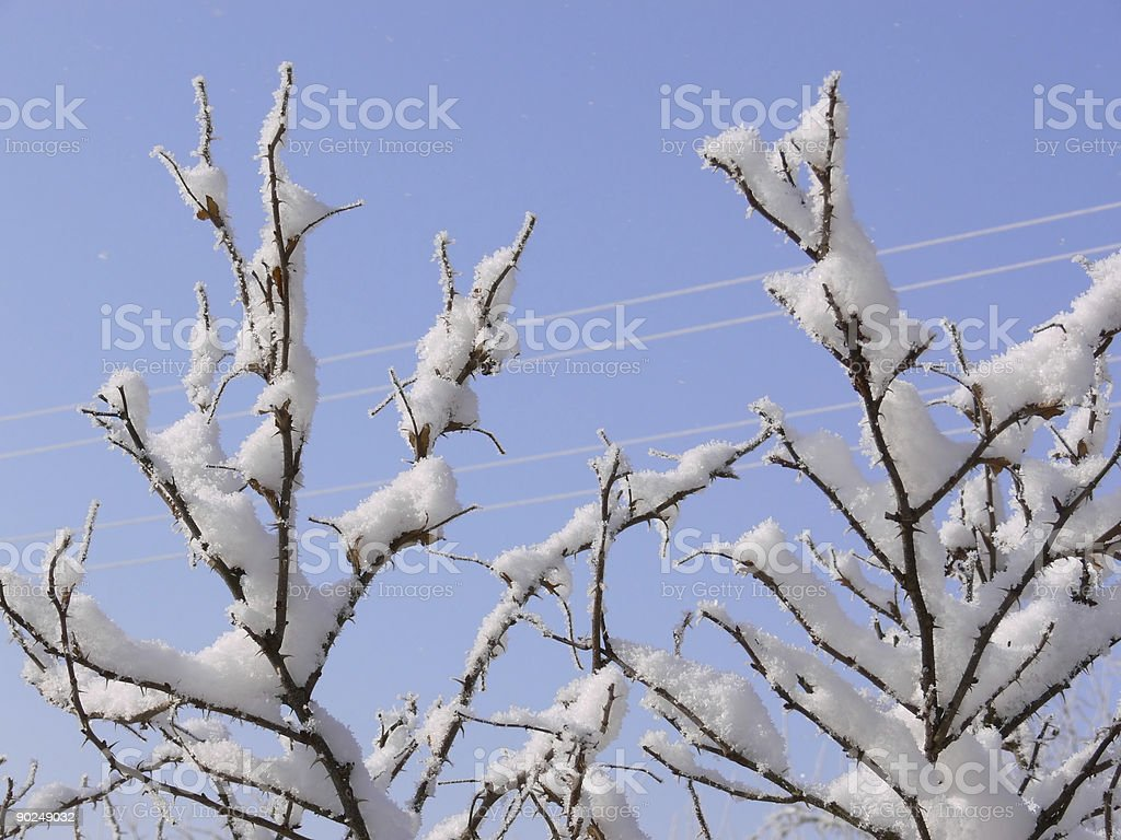 Branches covered with snow royalty-free stock photo