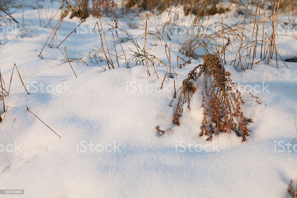 branches in snow royalty-free stock photo