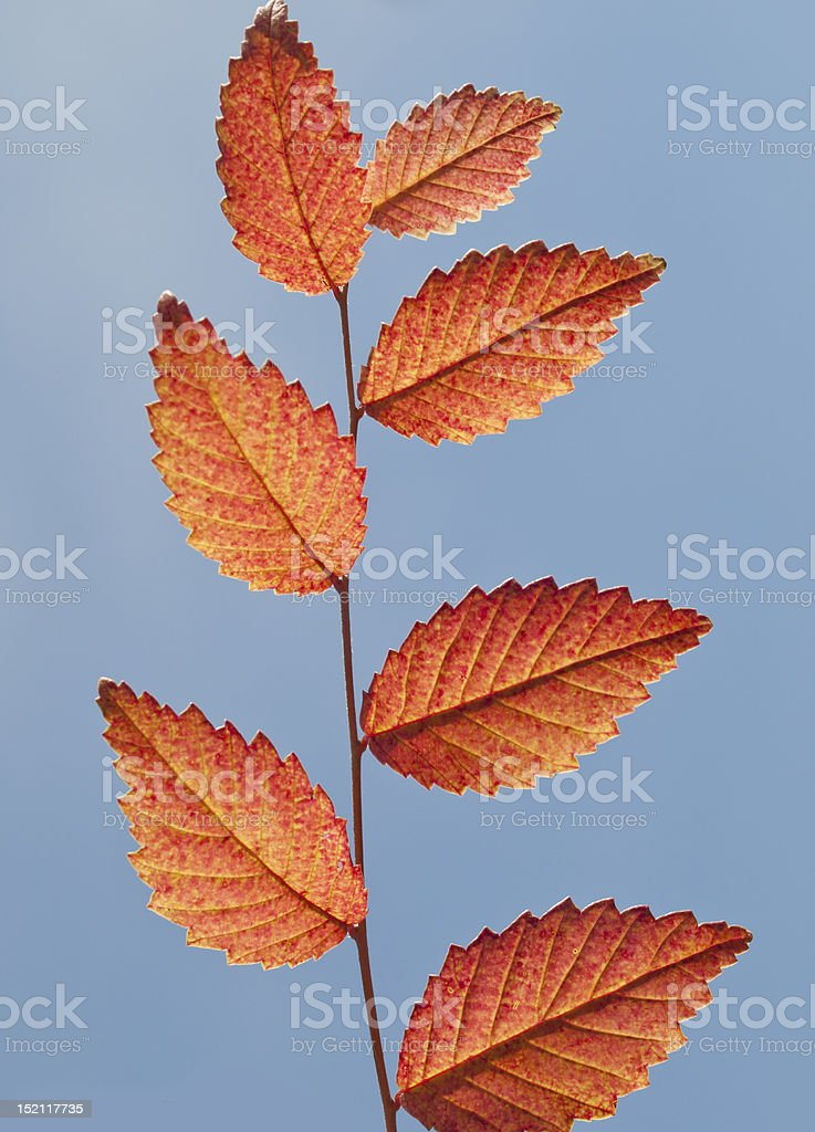 branches, leaves royalty-free stock photo