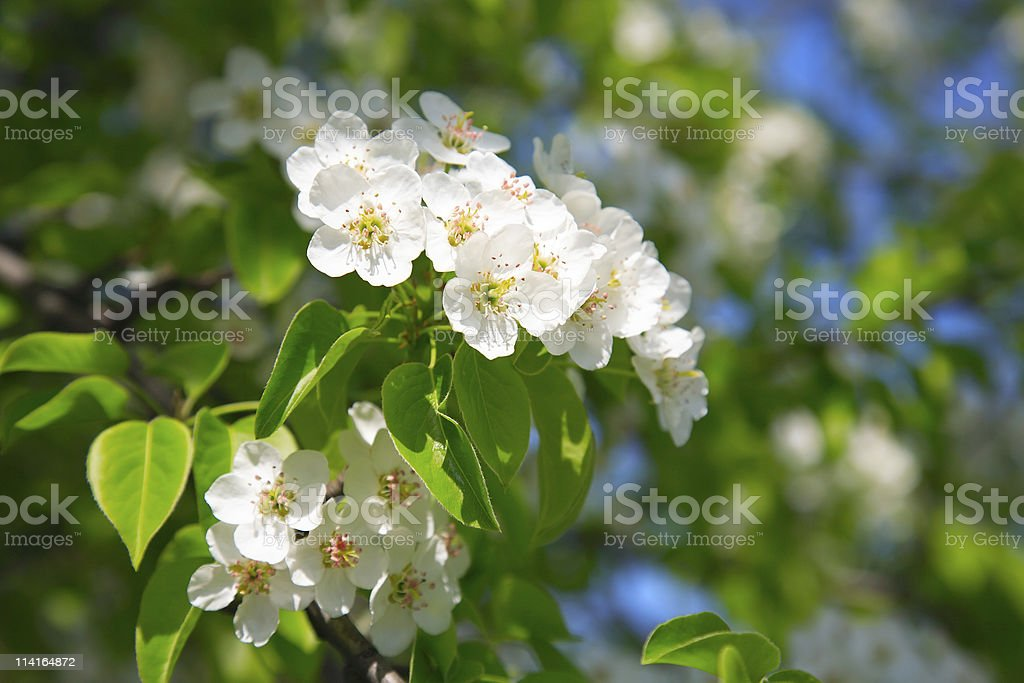 Branches of a blossoming apple-tree royalty-free stock photo