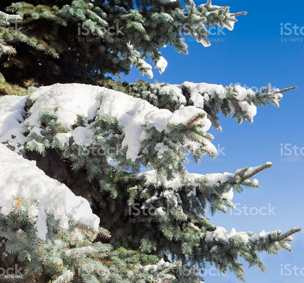 Branches of a blue spruce covered with snow closeup stock photo