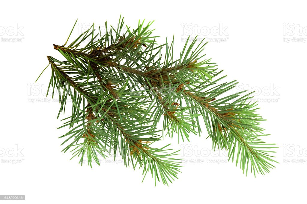 Branches of a fir-tree isolated on white background without shadows. stock photo