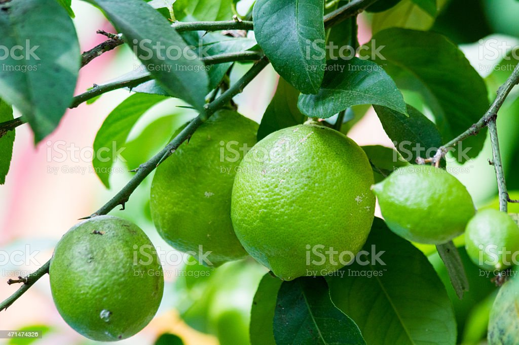 Branches Of A Lemon Tree With Underripe Fruit stock photo