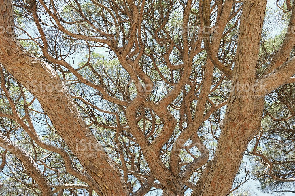 Branches of a parasol pine stock photo