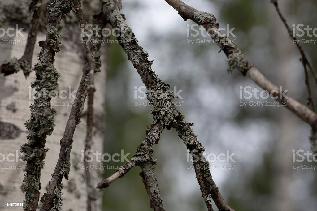 Branches of birch royalty-free stock photo
