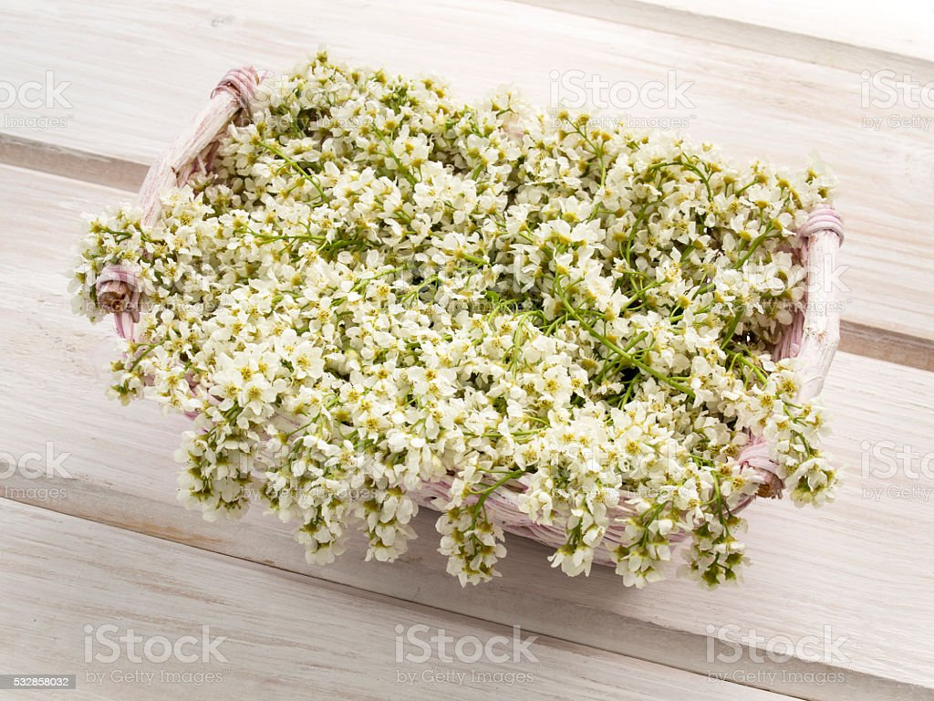 Branches of bird cherry blossoms in spring on a table stock photo