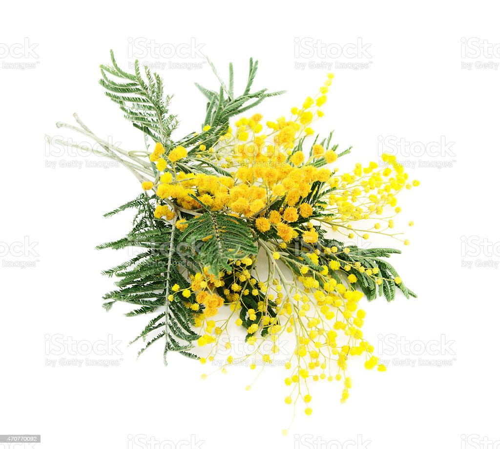 Branches of blooming Silver Acacia ( lat. Acacia dealbata) on white,isolated stock photo