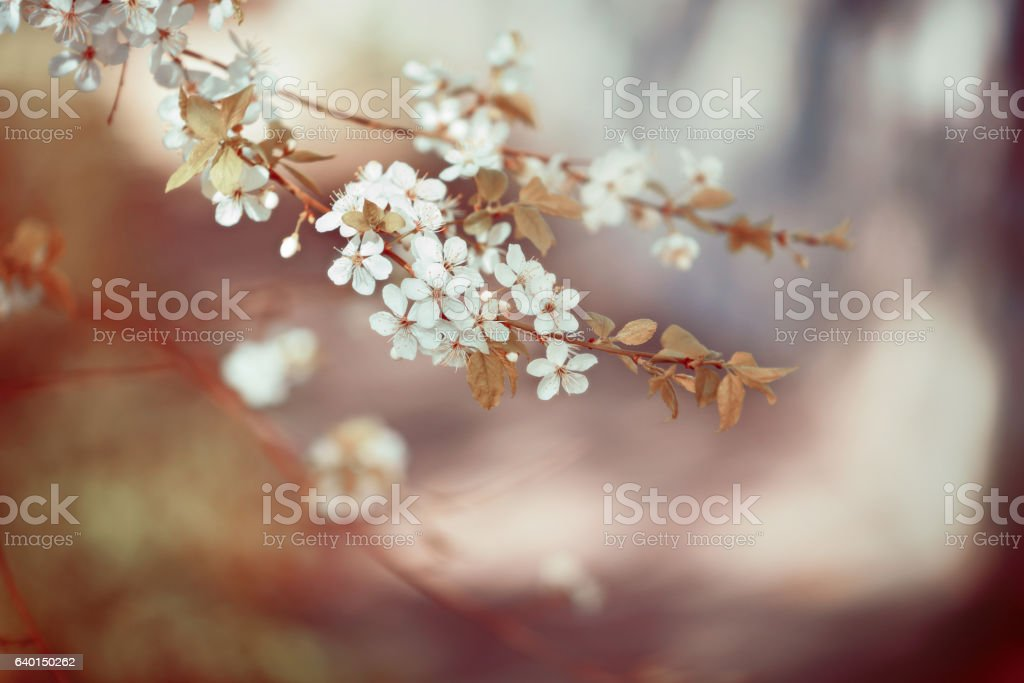 Branches of blossoming cherry in grunge style. stock photo