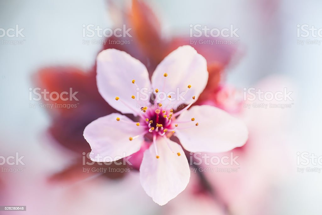 Branches of cherry tree in blossom,Beautiful spring background stock photo