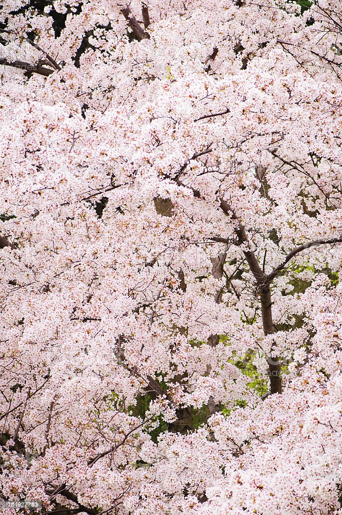 Branches of cherry tree royalty-free stock photo
