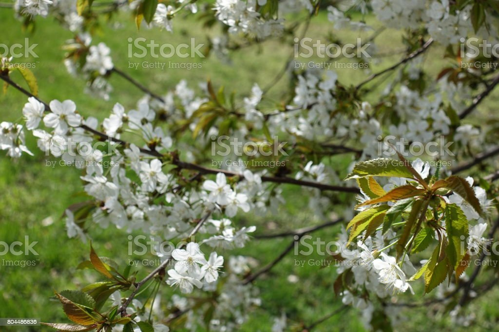 Branches of cherry with fresh leaves and flowers stock photo