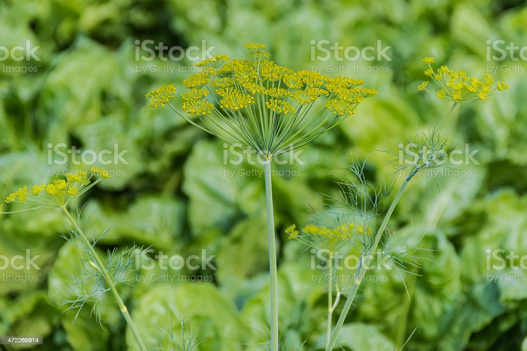 Branches of dill stock photo