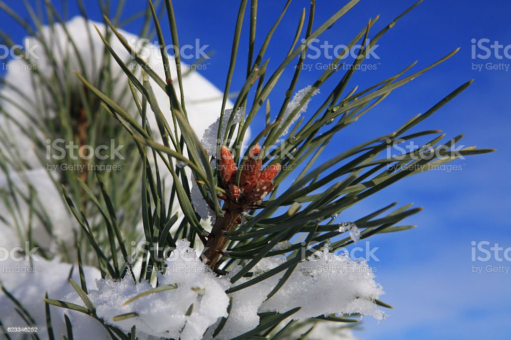 branches of fir tree strewn lightly with snow stock photo