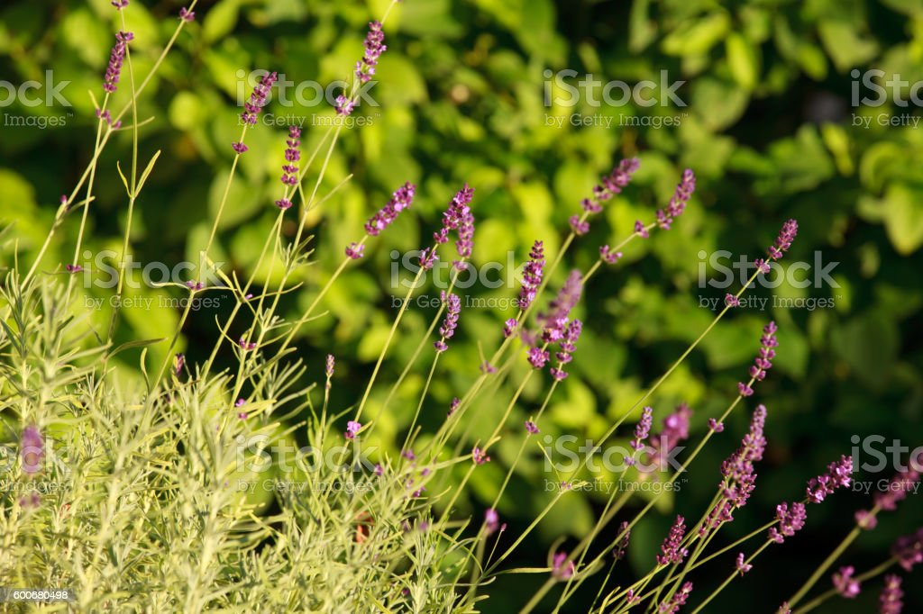 Branches of flowering lavender. stock photo