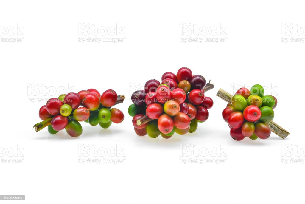 Branches of fresh coffee isolated on white backround stock photo
