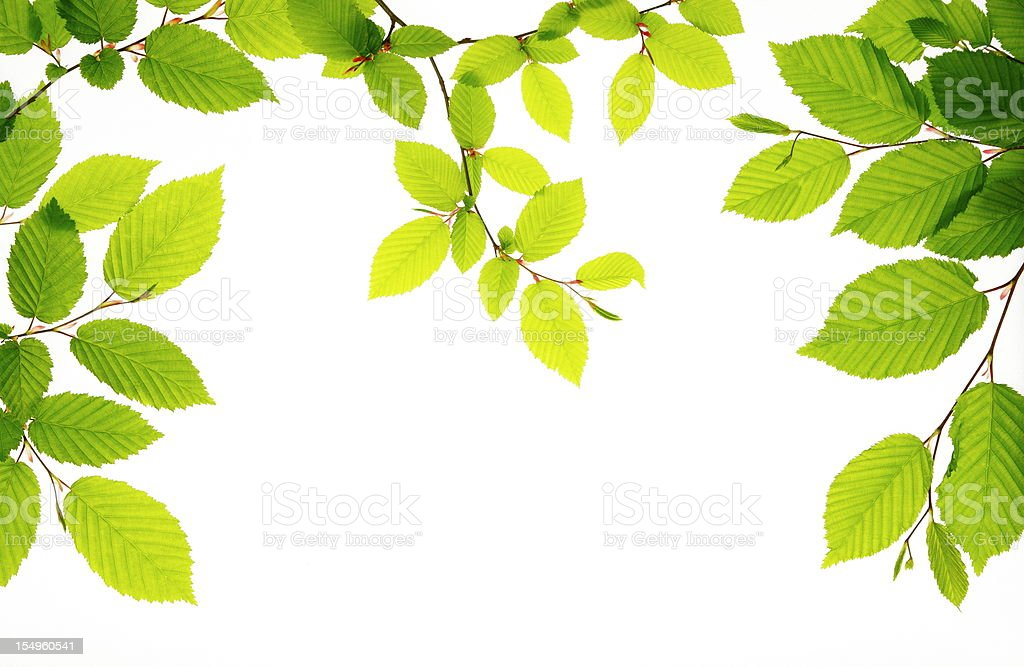 Branches of fresh green leaves on white bright background stock photo