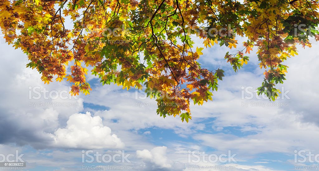 Branches of maple with autumn leaves on background of sky stock photo
