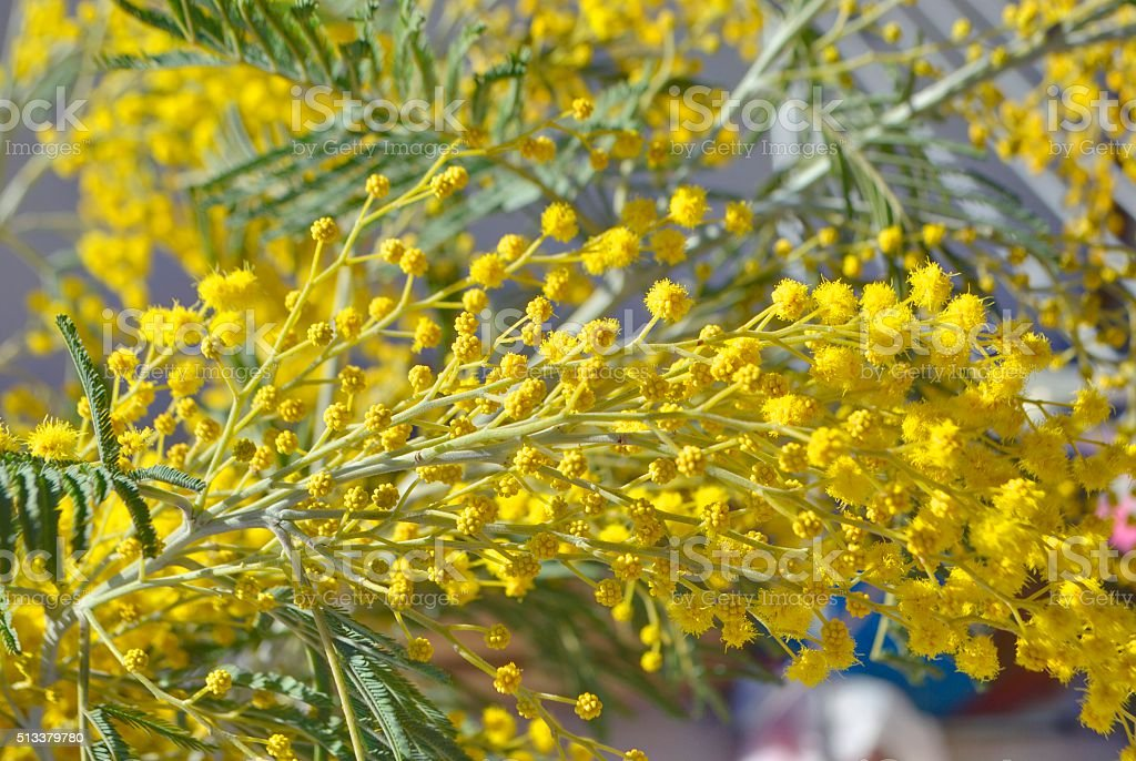 Branches of mimosa. stock photo