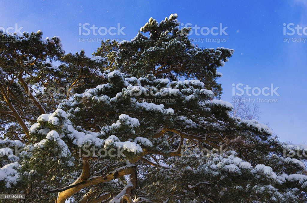 branches of pine trees on  background blue sky royalty-free stock photo