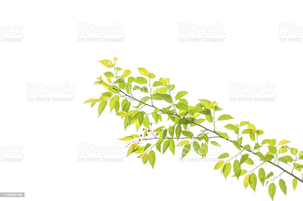 Branches of Prunus cerasoides royalty-free stock photo