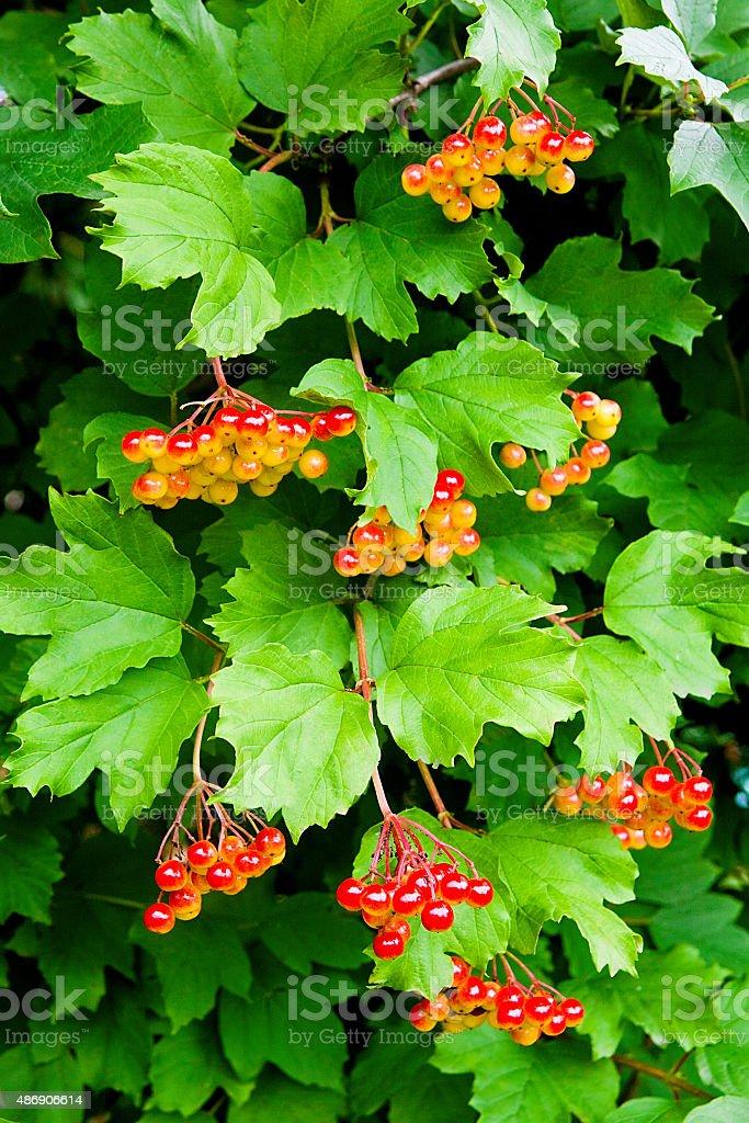 Ramas de Bayas rojas de Guelder rose foto de stock libre de derechos