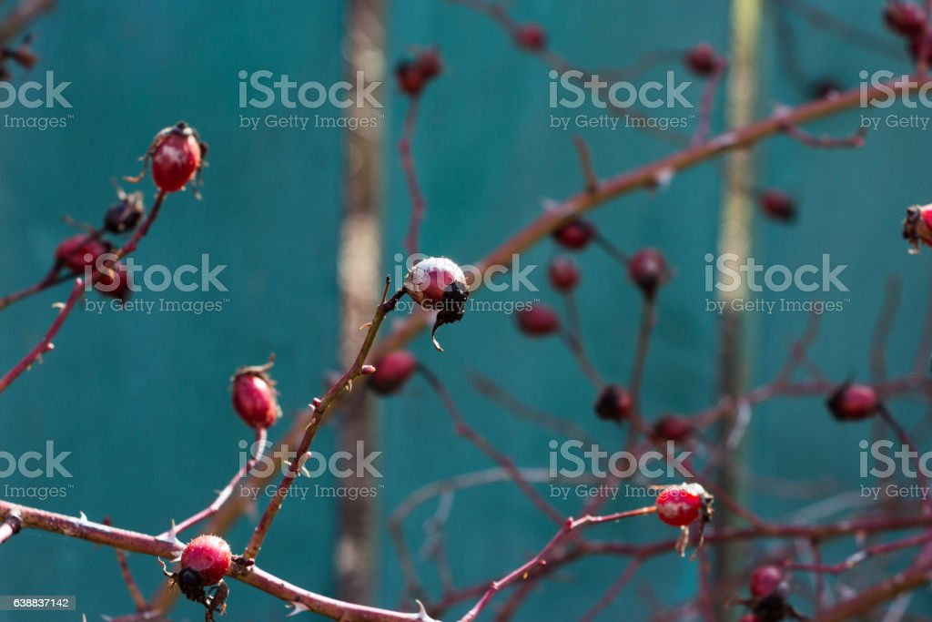 Branches of rosehips on  turquoise background. Blurred image, selective focus. stock photo