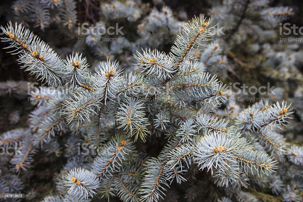 Branches of the Colorado blue spruce stock photo