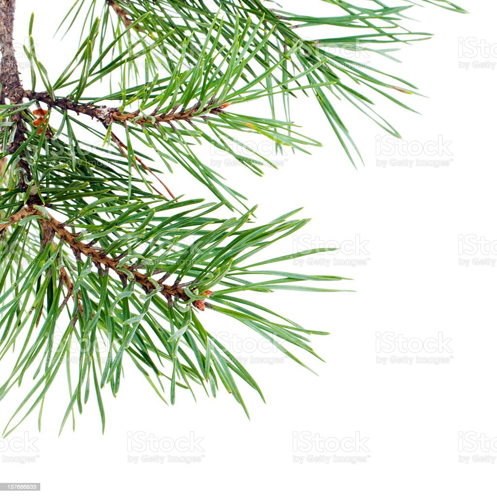 Branches of the pine stock photo
