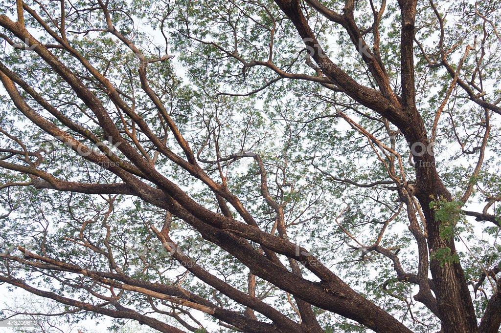 Les Branches d'arbre contre blanc ciel à l'arrière-plan photo libre de droits