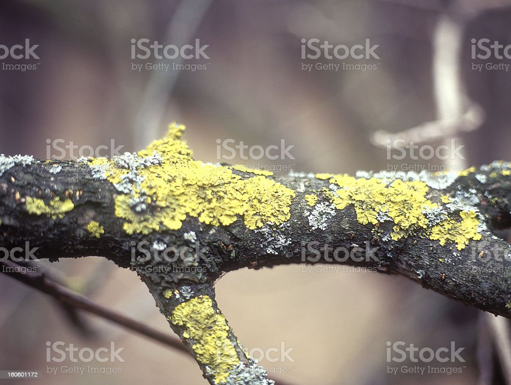 Branches of trees with lichen and moss. royalty-free stock photo