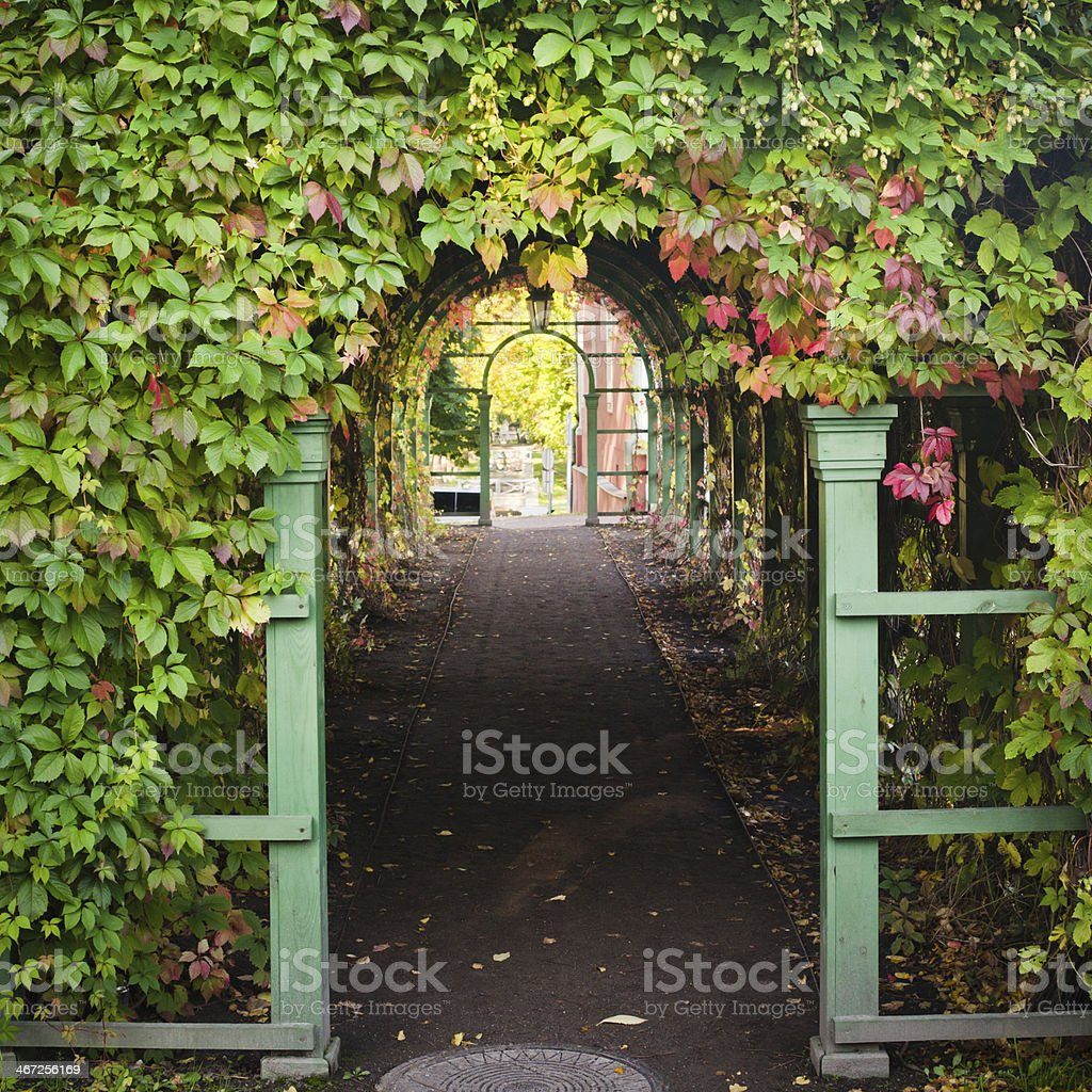 Branches of virginia creeper ramble on archway stock photo