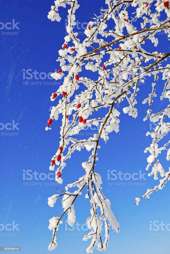 Branches rosehip covered with hoarfrost on the blue sky background. stock photo