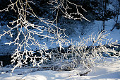 branches with frost in winter at sunny day
