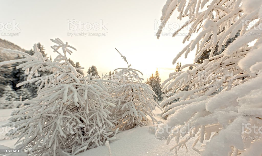 branches with ice royalty-free stock photo
