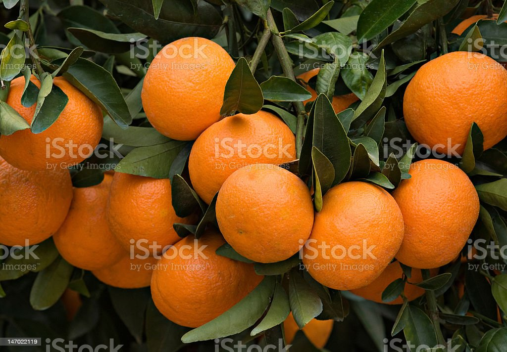 Branches with ripe tangerines royalty-free stock photo
