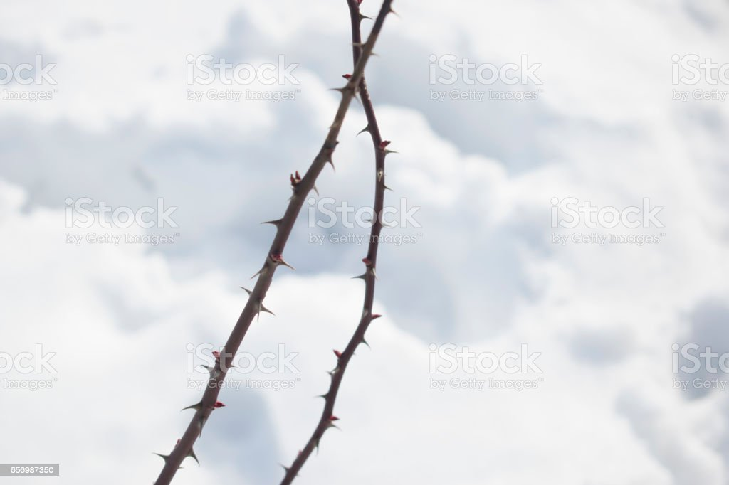 branches with thorns stock photo