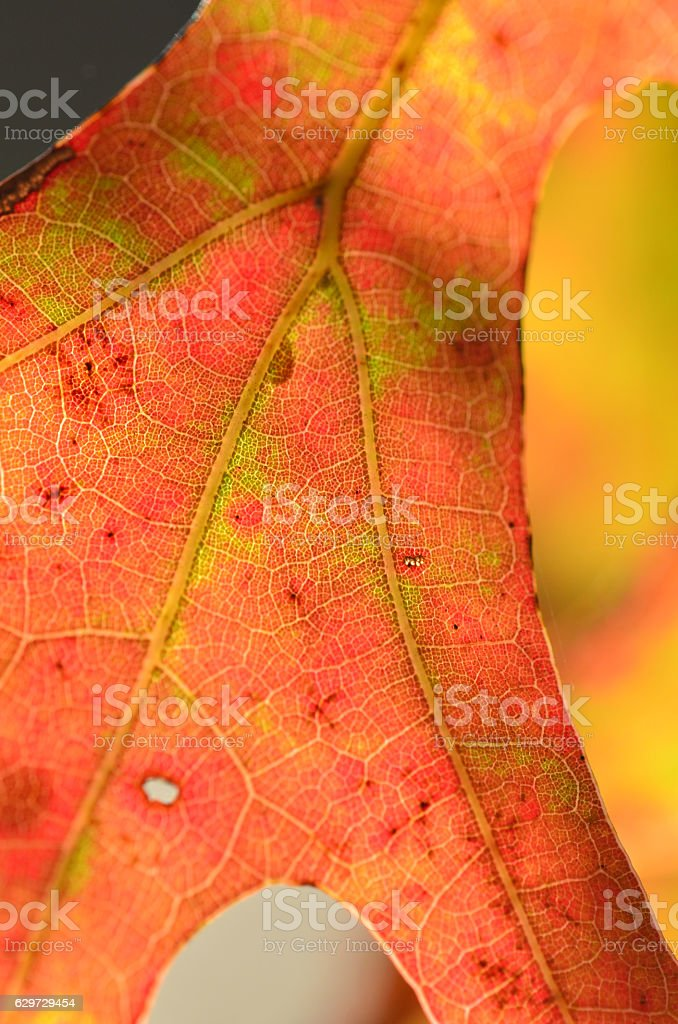 Branching veins in oak leaf during fall stock photo