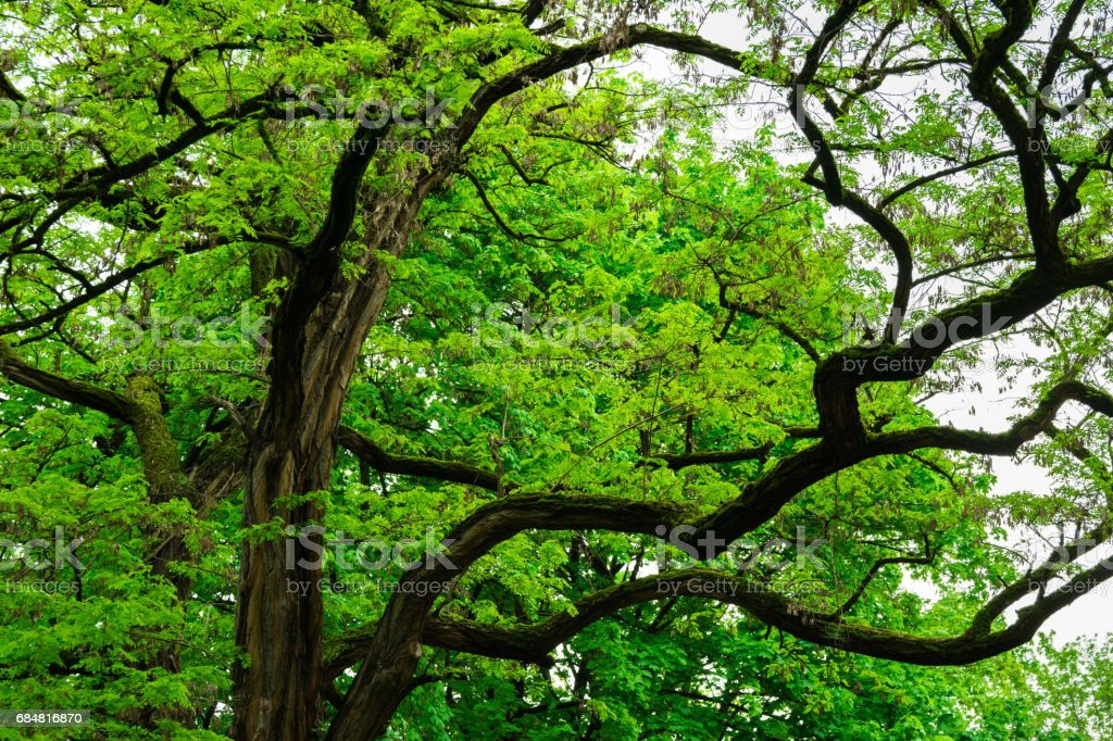 Branchy big old tree in japanese forest, mystery fairytale concept, botanical background stock photo