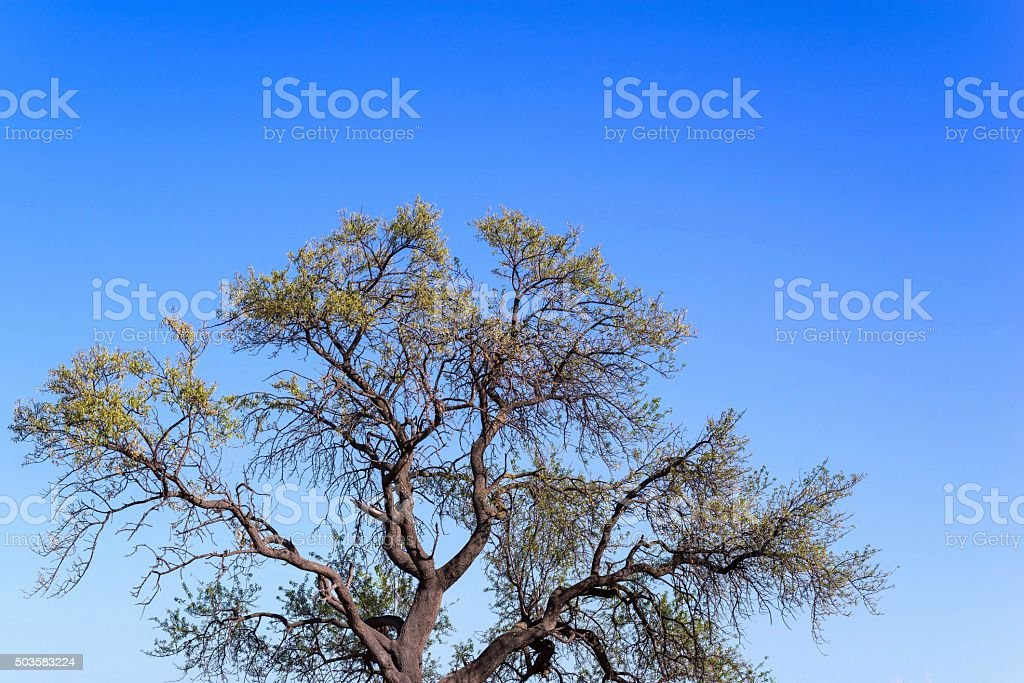 branchy curve tree with foliage against the blue sky stock photo