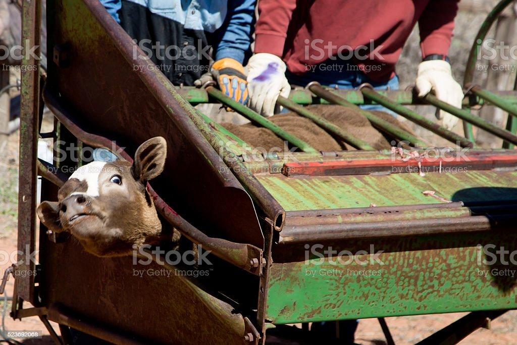 Branding a calf stock photo