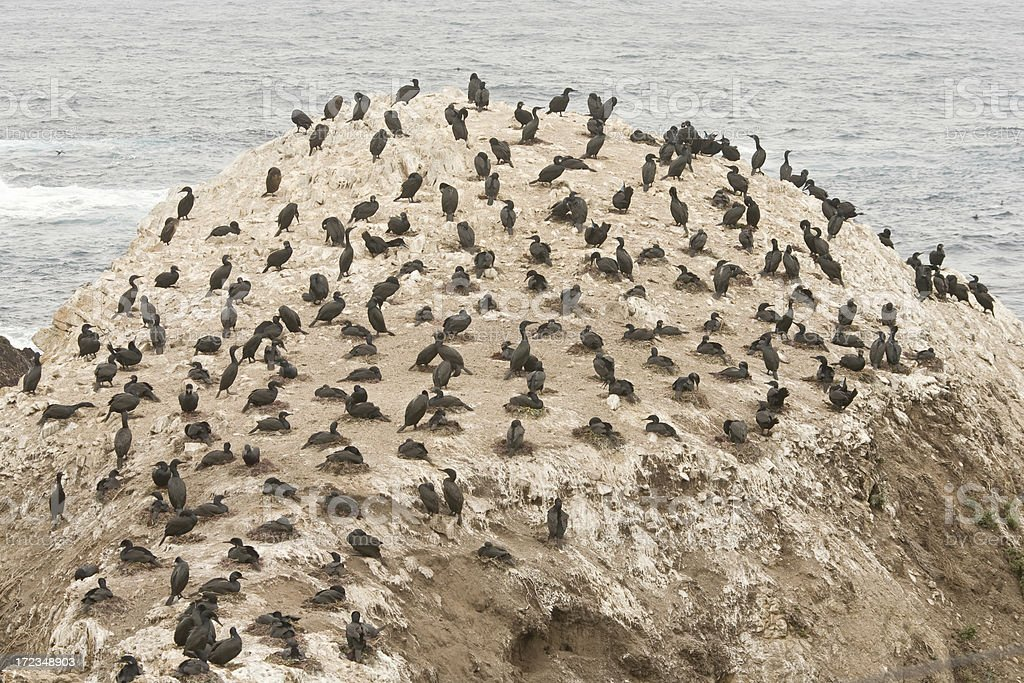 Brandt's Cormorants  Nesting on California Coast royalty-free stock photo